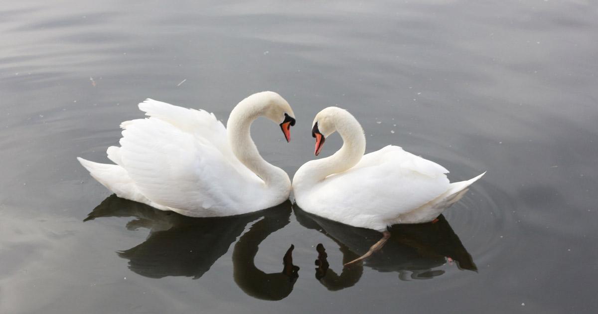swan-3340736