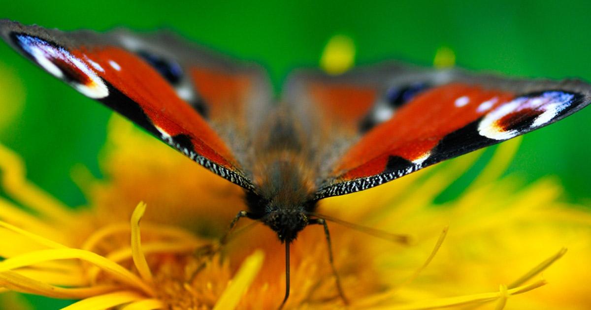 butterfly_short