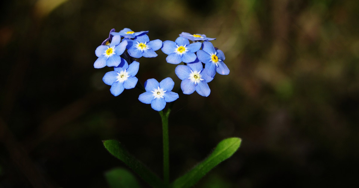 forget-me-not-316354