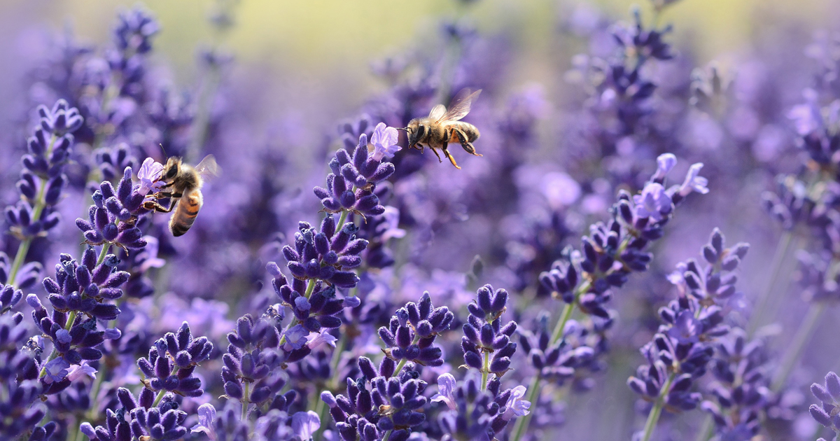 lavender-1537694